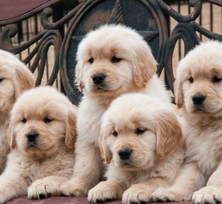 Adopting Golden Retriever Puppies – What a Great Idea